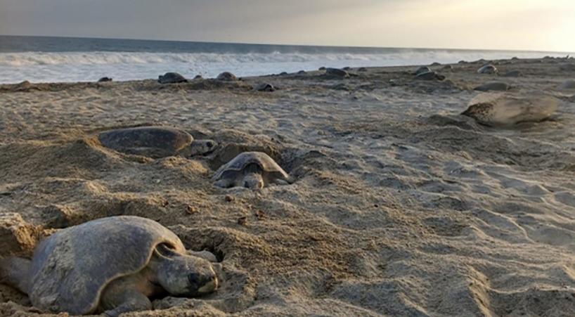 Buscan+disminuir+alta+tasa+de+mortandad+de+tortugas+en+costas+de+Oaxaca