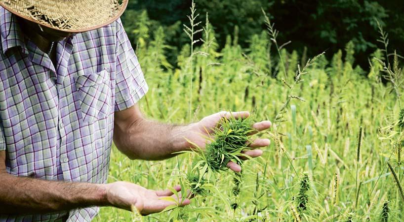 Regresan+a+proponentes+iniciativa+ciudadana+sobre+uso+de+la+Cannabis