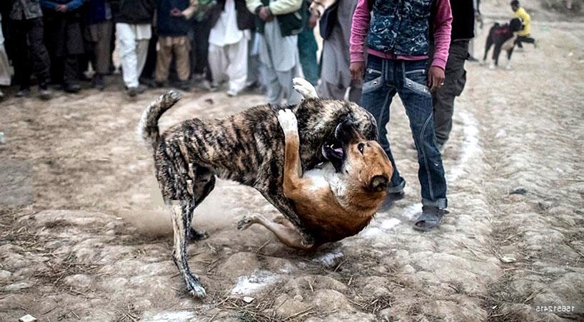 Impulsan+prohibici%C3%B3n+de+organizar%2C+inducir+o+provocar+peleas+de+perros
