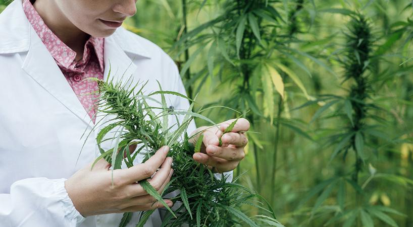 Discute+Senado+regulaci%C3%B3n+de+uso+medicinal+y+terap%C3%A9utico+de+marihuana